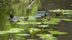 Coot with ducklings Stock Footage