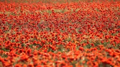 Expanse of poppies (pan shot) Stock Footage