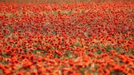 Stock Video Footage of Expanse of poppies (pan shot)