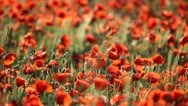 Stock Video Footage of Expanse of poppies