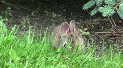 Baby rabbit nibbling grass - stock footage