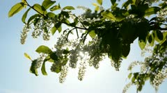 Bird cherry  blossoming and sunlight Stock Footage