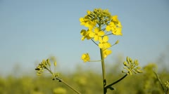 First rape blossom in spring rapes field and wind Stock Footage