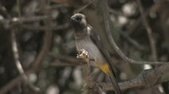 Yellow-vented Bulbul Stock Footage
