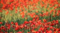 Expanse of poppies (pan) Footage