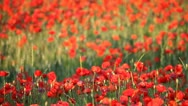 Stock Video Footage of Expanse of poppies (pan)
