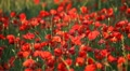 Expanse of poppies  Footage