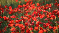 Expanse of poppies  Stock Footage