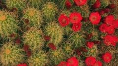 Cactus amazing bloom flowering flower Stock Footage