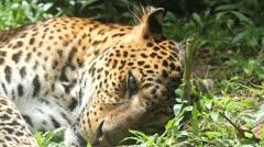 Leopard, dream Stock Footage