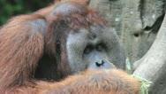 Orangutan Stock Footage