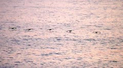 Birds that fly across the ocean at sunset  Stock Footage