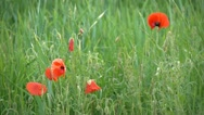 Stock Video Footage of HD1080 Red poppies mixed with weeds