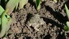 Frog Pelobates fuscus dig a hole in the ground Stock Footage