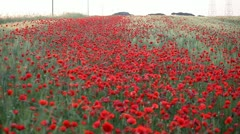 Expanse of poppies (pan) Stock Footage