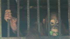 Orangutan, cage Stock Footage