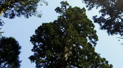 Sequoia Tree Rising Up To Sky Stock Footage