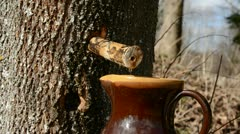 Spring maple sap drops in the forest Stock Footage