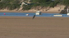 Pointer dog running on beach Stock Footage
