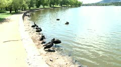 Black swans on a lake shore swimming and resting 3 Stock Footage