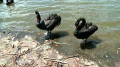Black swans in a lake, swan waving wings Stock Footage