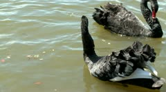Black swan in a lake, ready for a fight Stock Footage