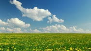 A field of dandelions Stock Footage
