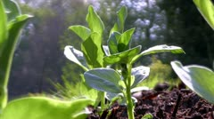 Broad bean plants in a Shropshire garden, England Stock Footage