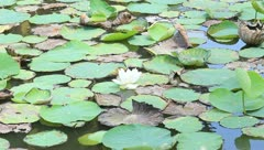 Lotus in the pond Stock Footage