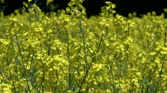 Man walking in Oil Seed Rape Field, Shropshire, England Stock Footage