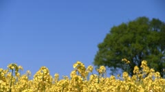 Oilseed Rape Field, Shropshire, England Stock Footage
