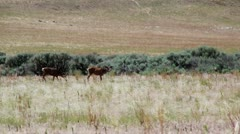 Two bucks in a field Stock Footage