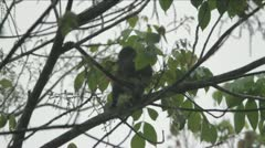 Monkey eating from tree in the Congo 2 Stock Footage