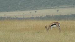 Thompson Gazelle grazing - stock footage