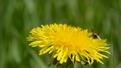Chafer start flying on dandelion flower Stock Footage