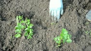 Stock Video Footage of planting celery sprouts in spring time