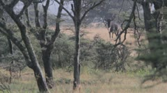 Wildebeest grunting Stock Footage