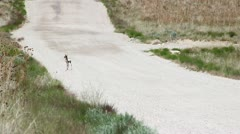 Mother and Baby Antelope on Dirt Road Stock Footage