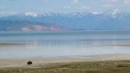 Large Buffalo Walking By Lake Stock Footage