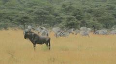wildebeest and zebras - stock footage