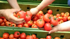 Tomato Harvest - stock footage