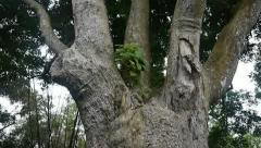 Old lam tree Stock Footage
