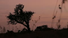 Acacia tree in African sunset Stock Footage