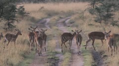 Numerous Female Gazelles grazing Stock Footage
