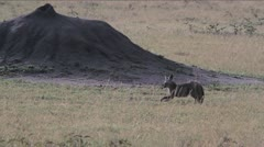 Jackal yawning and stretching in the Serengeti - stock footage