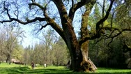 Stock Video Footage of Giant Valley Oak Tree With New Leaves In Spring
