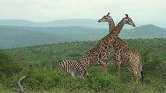 Giraffes necking Stock Footage