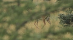 Male and Female Gazelle walking through trees Stock Footage