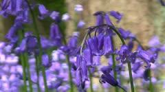 Bluebells (Hyacinthoides non-scripta) Stock Footage