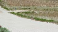 Baby Antelope Running Around Stock Footage